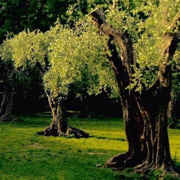 olive trees arene cimiez best of nice