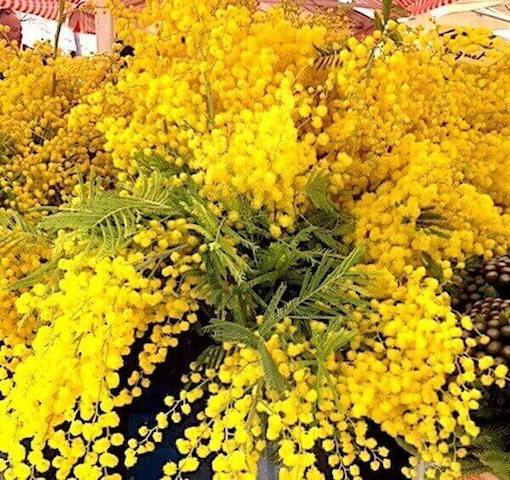 mimosa flower places to visit in Nice