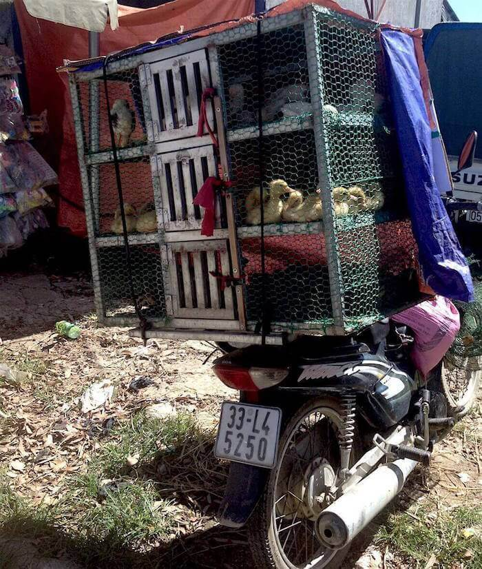 paco market motorbike with chickens