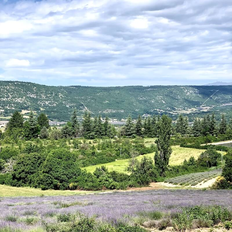 lavender fields sault and valley